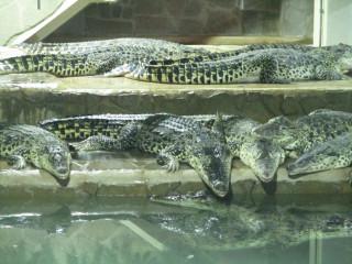 Krokodýlí ZOO - pohled do jednoho z terárií - zde odchovaných 19 krokodýlů kubánských