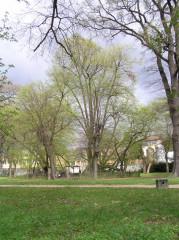 Bzenecká lípa v zámeckém parku