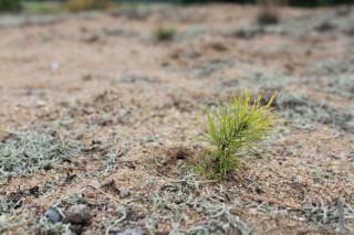 Osamělá borovička zapustila kořeny vpísku. Pro zachování nezpevněné duny ale bude později muset ven.