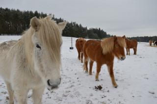 Hustá srst a dlouhá hříva – islanďané jsou fešáci