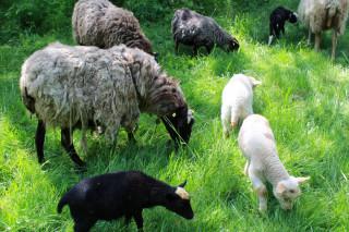 Jarní pastva. Sluňákov ale poskytuje zázemí i ovčím stádům, která pak během vegetačního období bývají sezónně umístěna na území vybraných přírodních rezervací.
