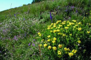 Žlutá květenství čilimníku zatlačují do pozadí ostatní květy, které jim slouží jako barevný doplněk, zvýrazňující jejich převahu.