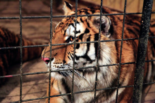 Tygr Tajmír