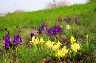 Přestože na Vinohradech převládá žlutá forma kosatce nízkého, vrcholové plošině udaly tón fialově zbarvené rostliny.