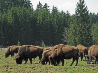 Česká Kanada -scénka z bizoní farmy Rožnov
