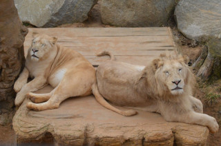Duo bílých lvů - César a Kleopatra