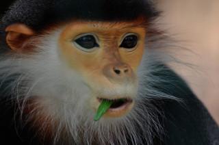 Langur duk – nejvzácnější primát v českých zoo